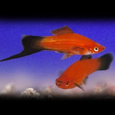 Xiphophorus helleri « Xipho » red wagtail XL