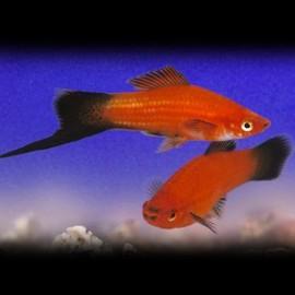 Xiphophorus helleri red wagteil 4 - 5 cm