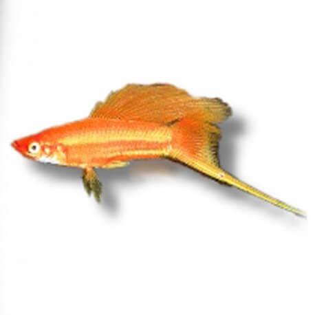Xiphophorus helleri « Xipho » simpson mix 4-5cm
