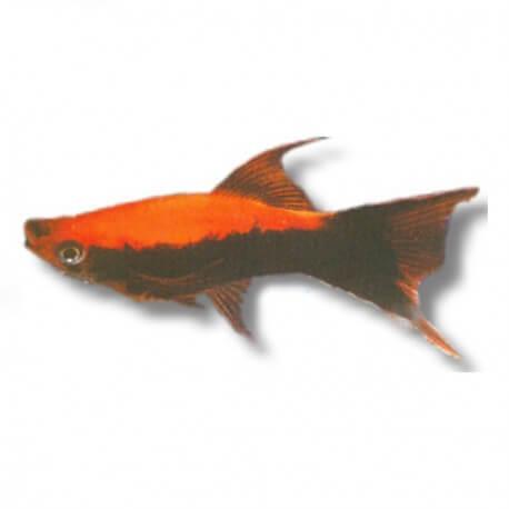 Xiphophorus helleri « Xipho » tuxedo lyre 4-5cm