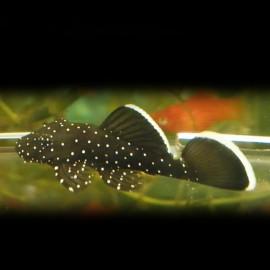 Ancistrus L213 4 - 5 cm