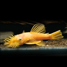 Ancistrus lemon  l 144 2 - 2,5 cm
