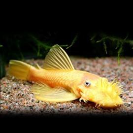 Ancistrus sp. gold 5 - 6 cm