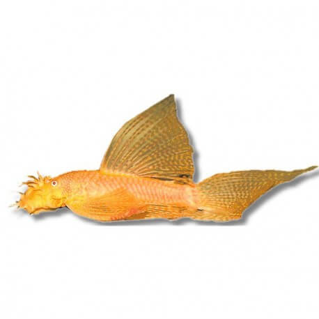 Ancistrus sp. gold long fin XL