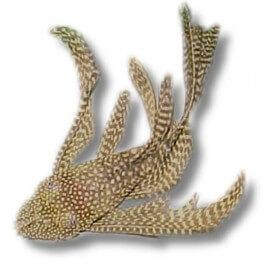 Ancistrus sp. long fin 2-2,5 cm