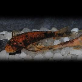 Ancistrus sp. red + black 2 - 2,5 cm