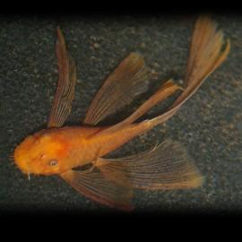 Ancistrus sp. super red long fin 3,5-4,0 cm