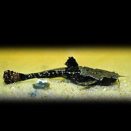 Bunocephalus sp. 5 - 7 cm