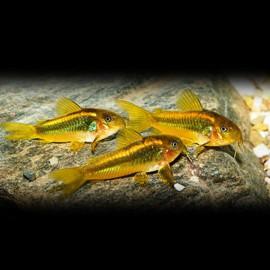 Corydoras aeneus peru gold strip 4 - 5 cm