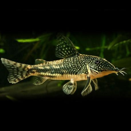 Corydoras barbatus 3 - 4 cm