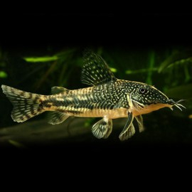 Corydoras barbatus XL