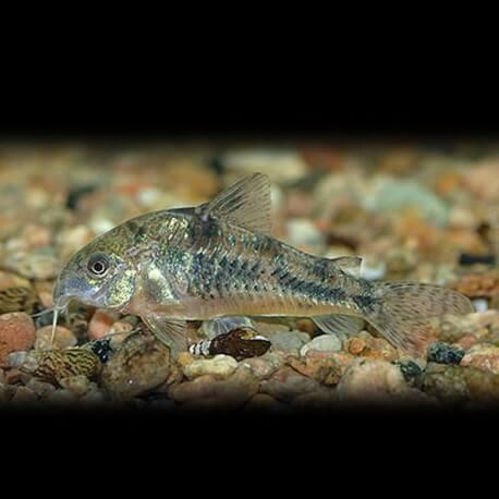 Corydoras paleatus 2,5-3cm