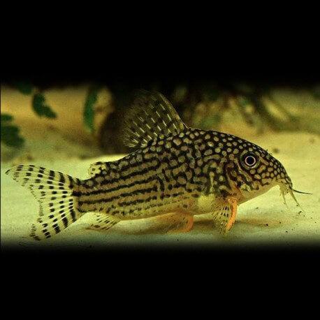 Corydoras sterbai 2-2,5cm