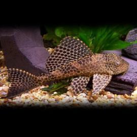 Hypostomus plecostomus 10 cm
