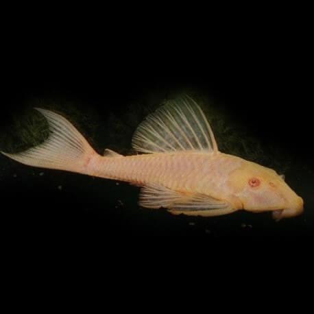 Hypostomus plecostomus gold 7 cm