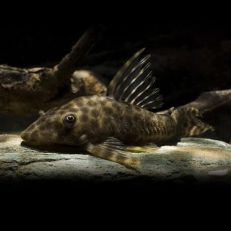 Hypostomus sp. bola 8cm