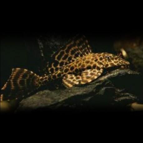 Hypostomus plecostomus golden stripe 4cm