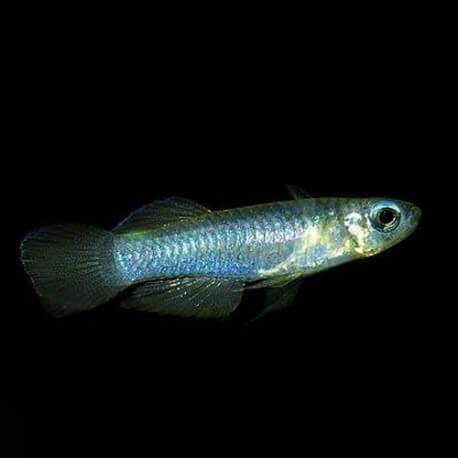 Aplocheilichthys normani