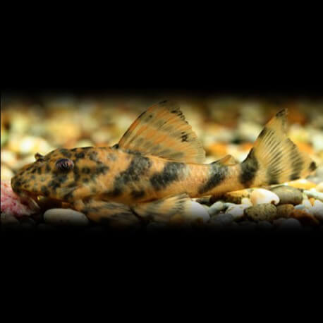 Peckoltia sp. L008 6-8cm