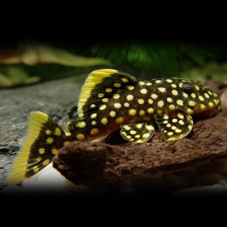 Baryancistrus sp. L018 4-5cm