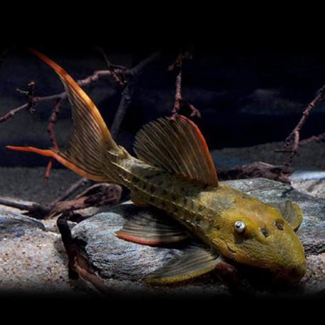 Pseudacanthicus sp L024 8-10cm