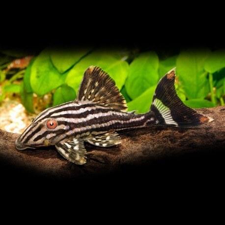Panaque nigrolineatus L027 5-6cm