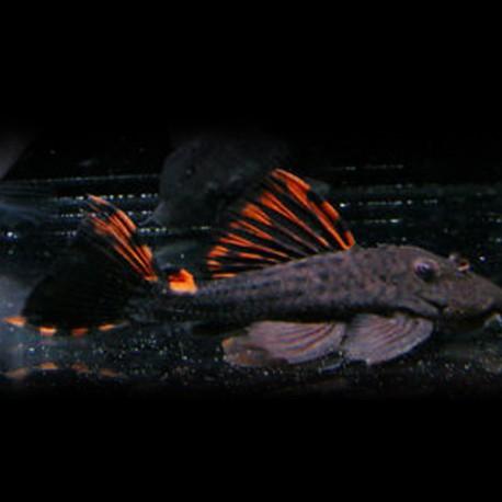 Leporacanthicus triactis L091 10-12cm
