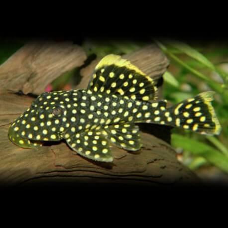 L177 Baryancistrus sp. 5 cm