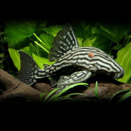 L190 Panaque cf. nigrolineatus 5- 7 cm