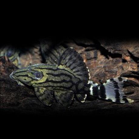 Panaque cf. suttonorum L191 5-7cm