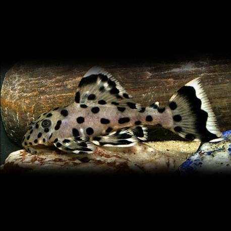 L264 Leporacanthicus joselimai 8-10cm