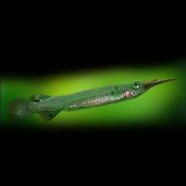 Dermogenys pusillus 3 - 4 cm