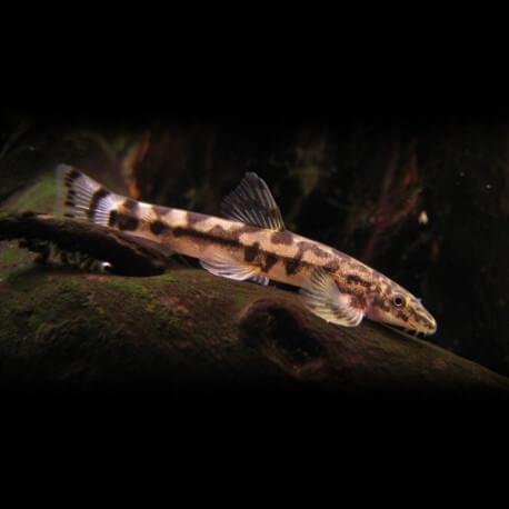 Crossostoma lacustre 3-6cm
