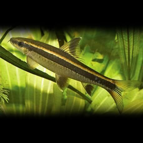Epalzeorhynchus kallopterus 2,5cm