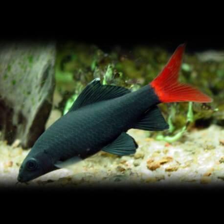 Epalzeorhynchos « labeo » bicolor 3-4cm
