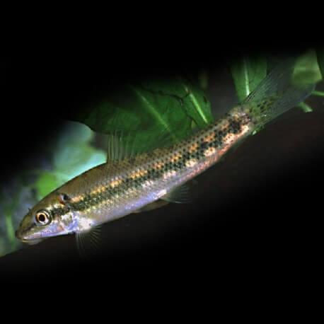 Gyrinocheilus aymonieri 4 - 5 cm