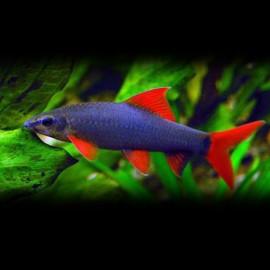 Labeo frenatus 6 - 7 cm