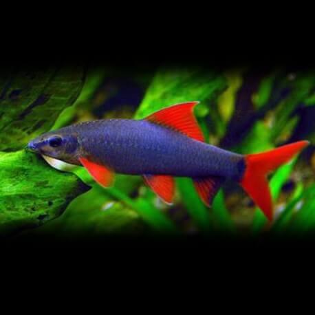 Labeo frenatus 7 - 8 cm