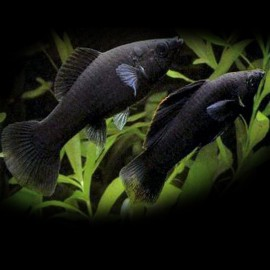 Poecilia latipinna black molly 4 - 5 cm
