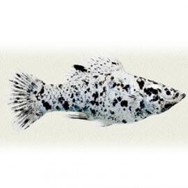 Poecilia velifera dalmatin 4 - 5 cm