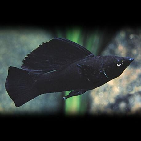 Poecilia velifera black 6-7 cm