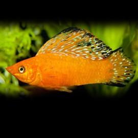 Poecilia velifera orange neon sailfin molly 6 - 7 cm