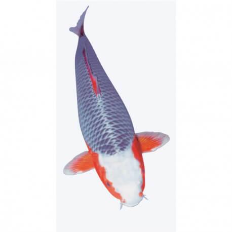 Carpe Koï « asagi » 30-35cm