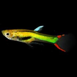 Poecilia endler neon 1 - 2 cm