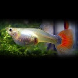 Poecilia ret. female half black red delta neon 3 - 4 cm