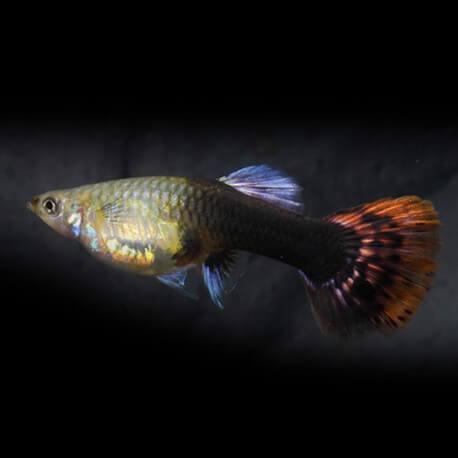 Poecilia ret. female multicolor 3,5-4 cm