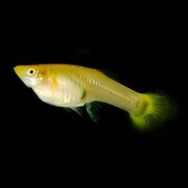 Poecilia ret. female yellow 3 - 4 cm