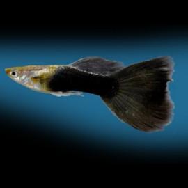 Poecilia ret. male black 3 - 4 cm