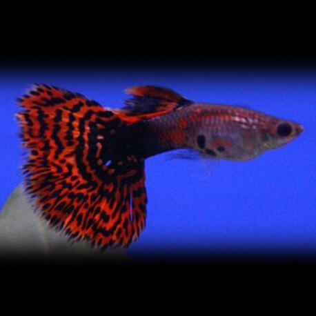 Poecilia ret. male blood red mosaic tail 3 - 4 cm