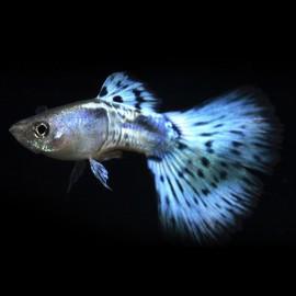 Poecilia ret. male blue cobra 3 - 4 cm